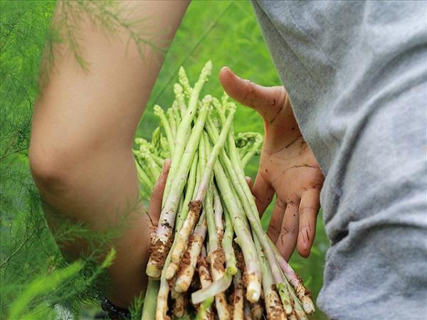 Thu hoạch măng tây